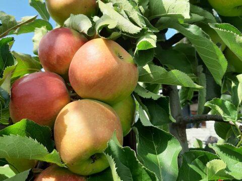 Appelconfituur