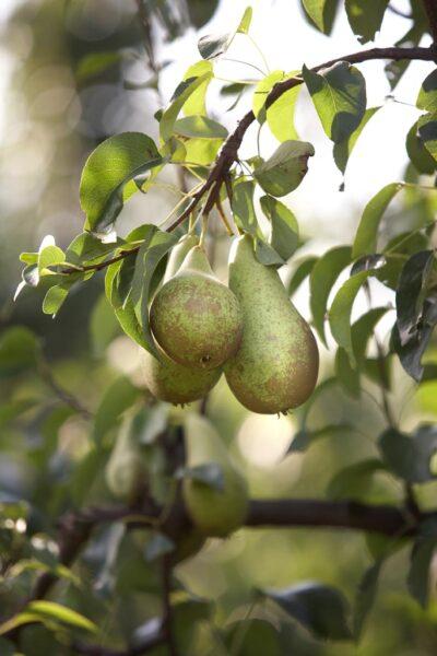 Perenconfituur met pruimen en hazelnoot